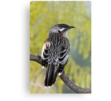 Young Adult Red Wattlebird Metal Print