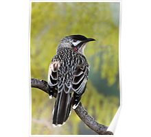 Young Adult Red Wattlebird Poster