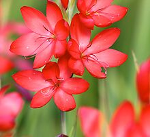 Searing Red Hesperantha by Wolf Read