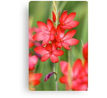 Searing Red Hesperantha Canvas Print