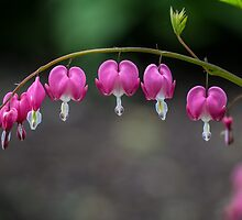 Bleeding Heart Flowers by Pixie Copley LRPS