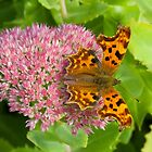 Comma butterfly, Polygonia c-album by Tony4562