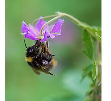 Bumble Bee - Square Picture Photographic Print