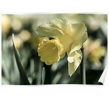daffodil flower Close Up Poster