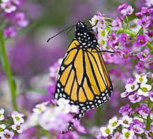 Monarch and Purple Flowers by marilynwood