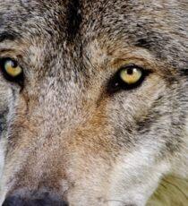 Timberwolf Portrait  Sticker