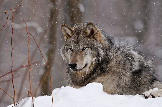 Timberwolf in Winter by Michael Cummings