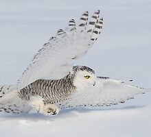V Formation / Snowy Owl  by Gary Fairhead