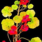 Nasturtiums on Black by marlene veronique holdsworth