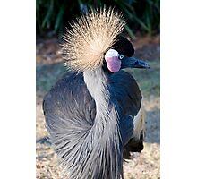 Gray Crowned Crane Photographic Print