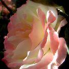 Enchanted Rose  by Brian Bo Mei
