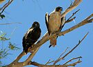 Red-tailed Hawks ~ Paired by Kimberly Chadwick