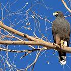 Harris's Hawk by Kimberly Chadwick