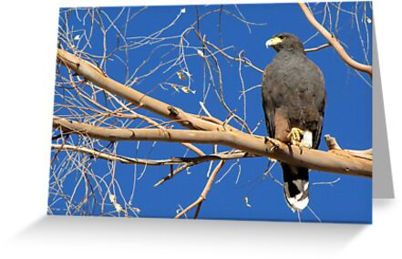 Harris's Hawk by Kimberly Chadwick