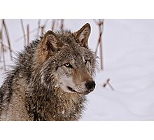 Timber Wolf Portrait  Photographic Print