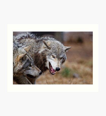 Timber Wolves Art Print