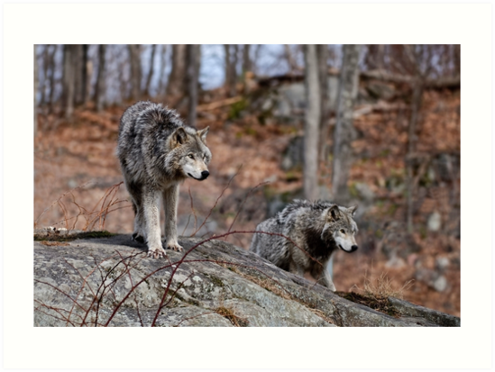 Timber Wolves on Rocks by Michael Cummings
