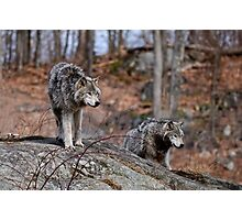 Timber Wolves on Rocks Photographic Print