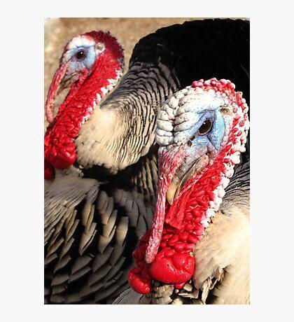 Narragansett Turkeys Photographic Print