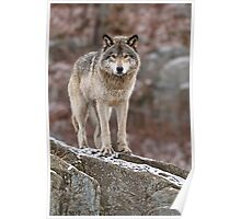 Timber Wolf on Rocks Poster