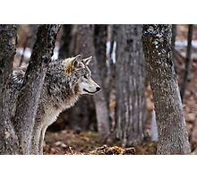 Timber Wolf in trees Photographic Print