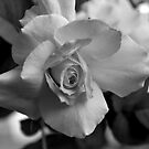 Not Just a Rose by Colleen Rohrbaugh