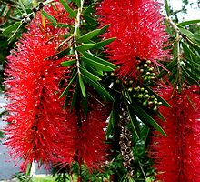 Red Bottle Brush, Australia by Angela Gannicott