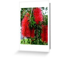 Red Bottle Brush, Australia Greeting Card