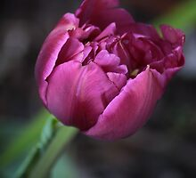 Red Tulip by Russell Jenkins