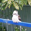 Baby Kookaburra by LESLEY BUtler