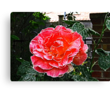 Rose's are Red, My Love.  Canvas Print