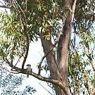 Laugh Kookaburra Laugh by LESLEY BUtler