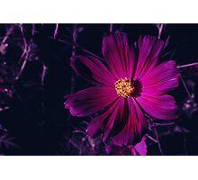 Magenta Photographic Print