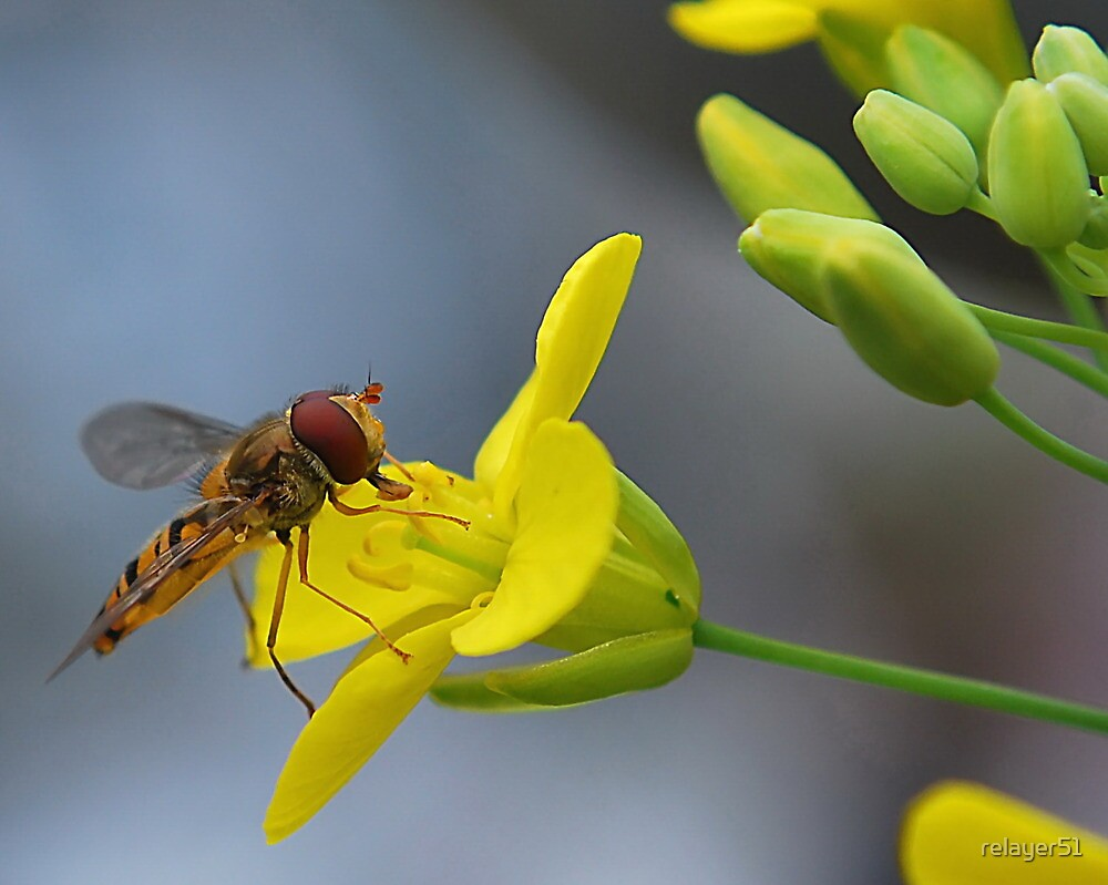 Hoverfly  by relayer51