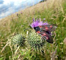 6-Spot Burnet Moth? by Sue Gurney