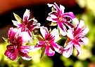 Just geranium 2 by Antionette