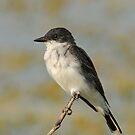 Eastern Kingbird by photosbyjoe