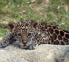 Jaguar Cub by Gail Falcon
