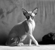 Sphynx cat by Stephane Boyer