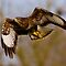 Buzzard by Val Saxby