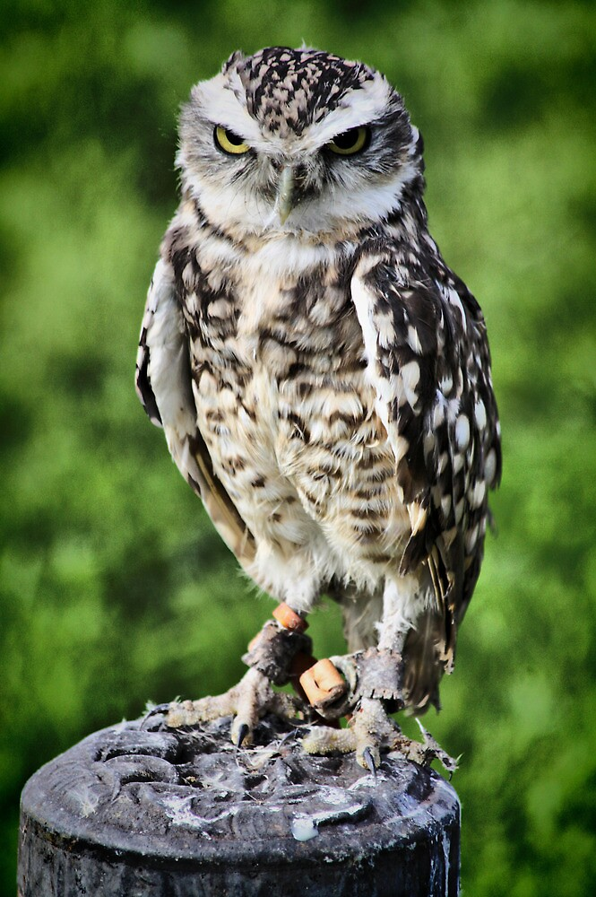 Burrowing Owl by SNAPPYDAVE