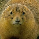 fluffed up prairie dog by mamba