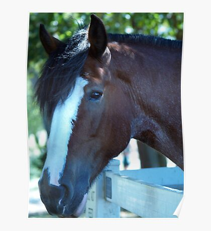 Clydesdale portrait  Poster