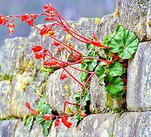 Flower in an Inca Wall by Nigel Fletcher-Jones