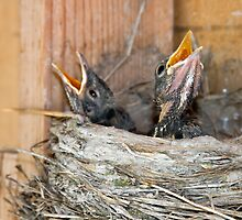 Baby Robins in nest by Forrest  Ray