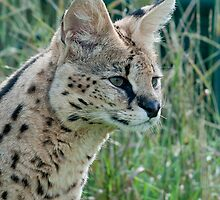 Serval by suffolkwildlife