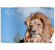 Lion sunbathing Poster