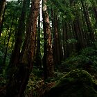 Ocean View Trail, Muir Woods (8/15/2010) by Rodney Johnson