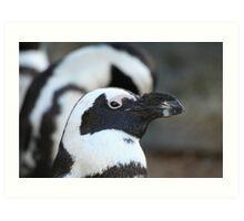 Black-footed Penguin  Art Print