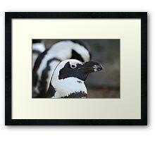 Black-footed Penguin  Framed Print